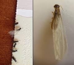Download Formosan Termites  PNG