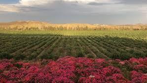 صور ت نتج 40 مليون وردة في السنة مزرعة في أبها أحد أهم عوامل