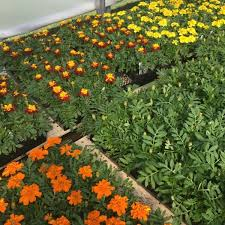french marigolds for beauty companion