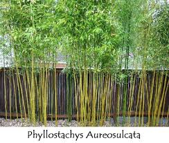 Tall Narrow Privacy Screening Plants Yahoo Image Search Results Bamboo Garden Bamboo Garden Fences Bamboo Plants