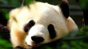 close up s panda bears wallpaper