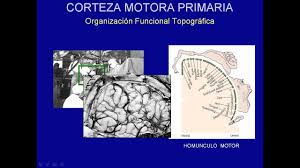 fisiologia corteza motora you