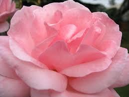 صور زهور وردية ليدي بيرد