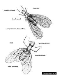 Get Flying Ants Vs Termites Background