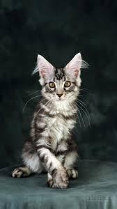 Iphone 6 القطط خلفية Iphone 6 الصور الحرة 7192593
