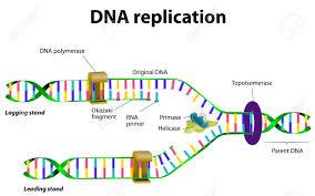 Resultado de imagen de La replicación del ADN