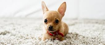 chihuahua breed facts and rament