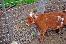 Goat Fencing Planning And Supplies You Ll Need