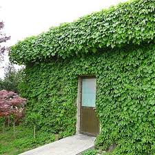 Boston Ivy Fast Growing For Garden And Privacy Fence Flower Pots Planters Boston Ivy Seeds Climbing Creepers Seeds Bonsai Klimplanten Tuin Inspiratie Tuin