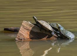 Anytime You See A Turtle Up On Top Of A Fence Post You Know He Had Some Help Alex Haley Turtle Fence Post Wildlife