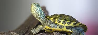 Turtles As Pets Care Information Petsmart