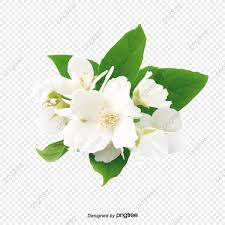 زهور الياسمين البيضاء برعم البتلة الياسمين Png وملف Psd للتحميل