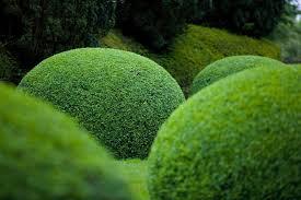 Boxwood Topiaries 6 Tips For Trimming Shrubs From Niwaki S Jake Hobson Gardenista