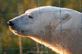 Polar Bear With Mosquitoes At The Fence Picture Of Nanuk Polar Bear Lodge Churchill Tripadvisor