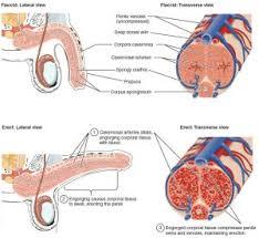 Erection Erectile dysfunction impotence