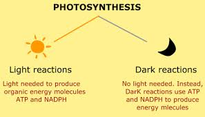 light reactions in photosynthesis