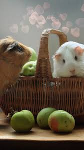 two cute guinea pigs rodents apples