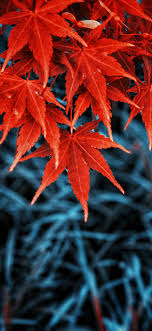 fall colored autumn leaves wallpapers