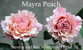 Garden Roses   Stevens and Son Wholesale Florist