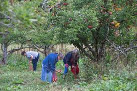 Gleaning gives good feelings and apples | Agriculture | lmtribune.com