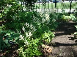 deer resistant shade perennials for