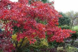 how to grow japanese maples rhs gardening