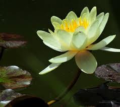 Huawei Y5 2017 Water Lilies خلفيات زهرة Huawei Y5