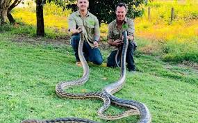 snakes just fell through a queensland