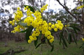 National Wattle Day 2019 - Melbourne ...
