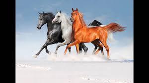 صور خيول اجمل الخيول العربية حبيبي