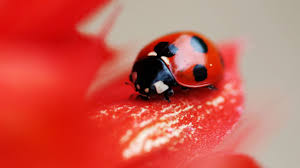 ladybug wallpaper 43701 2560x1440px