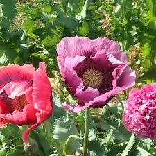 poppy french flounce deep harvest farm