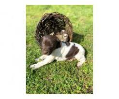 german shorthaired pointer puppy for