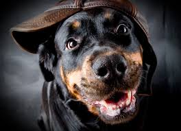 hd rottweiler wallpaper 1024x739