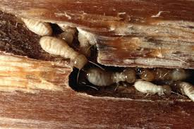 35+ Western Termite  Images