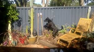 Reducing Dog Barking And Jumping At Fence Lines Dog Charming Training Youtube