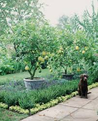 growing your own apple and pear trees