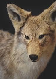 Urban Coyotes Keeping Your Pets Safe