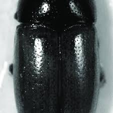 the genus dacne latreille coleoptera