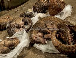 Chinese medicine, fake news, & Asean's role in pushing pangolins ...