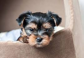 charmy teacup yorkie puppies available