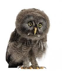 Great Grey Owl Wall Decal Wallmonkeys Com