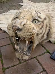 taxidermy tiger skin rug wall hanging