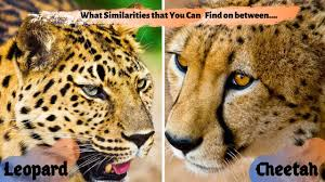 know the similarities between cheetah