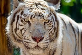 white tiger picture free stock photos