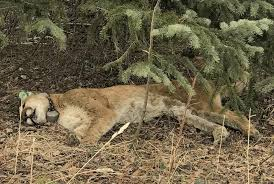 Nederland mountain lion suspected of attacking dog found dead, natural  causes suspected – Boulder Daily Camera