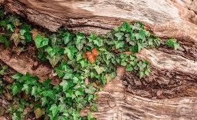 Ivy Wood Log - Free photo on Pixabay