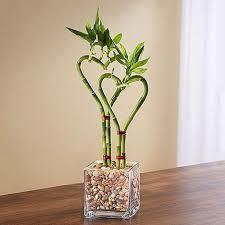 bamboo plant in glass vase in uae