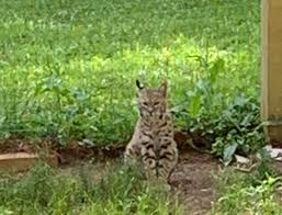 Searcy family goes to bat for their bobcat | News | thedailycitizen.com