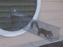 how to catch a squirrel in a trap